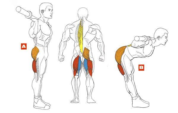 Мышцы при наклонах со штангой