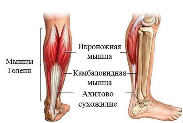 Анатомия голени