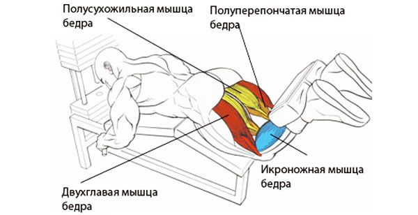 Мышцы при сгибании голени
