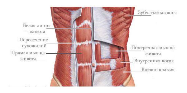 Строение абдоминальных мышц