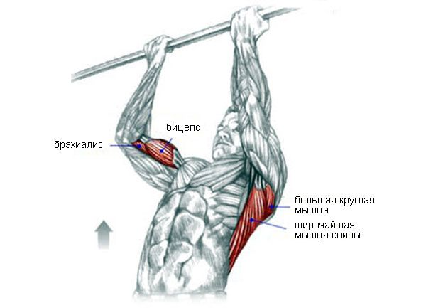 Работа мышц при подтягиваниях