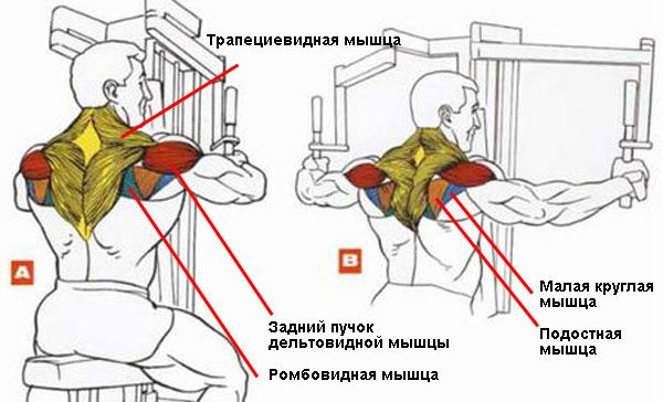 Мышцы при обратных разведениях