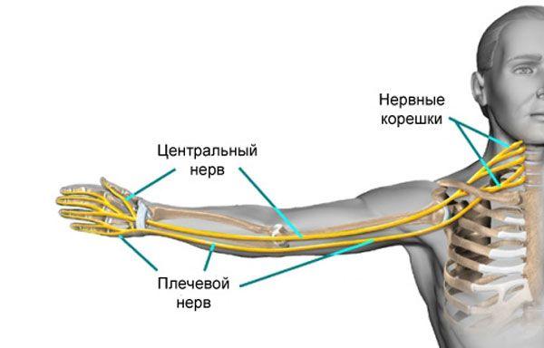 Нерв в руке
