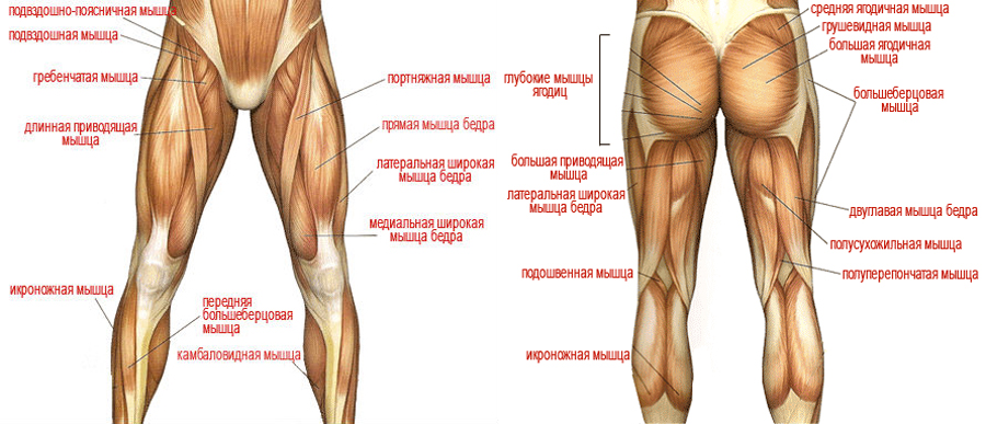Анатомия ног