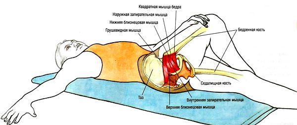 Расположение грушевидной мышцы