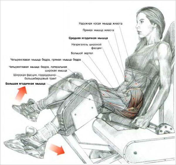Мышцы при разведении ног в тренажере