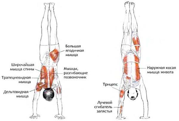 Мышцы при стойке на руках