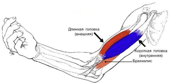 Строение мышц плеча