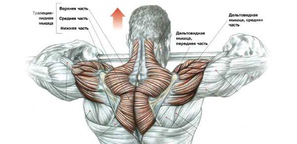 Дельтовидные мышцы и трапеции