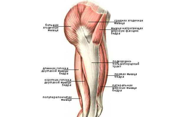 Строение мышц бедра