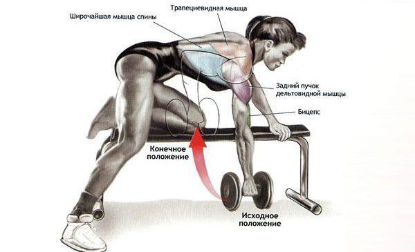 Мышцы работаюшие при тяге гантели