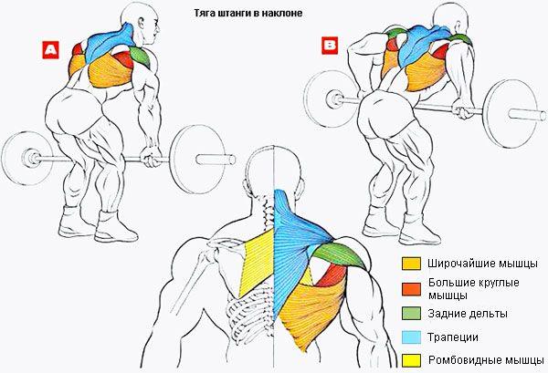Работа мышц при выполнении тяги к поясу