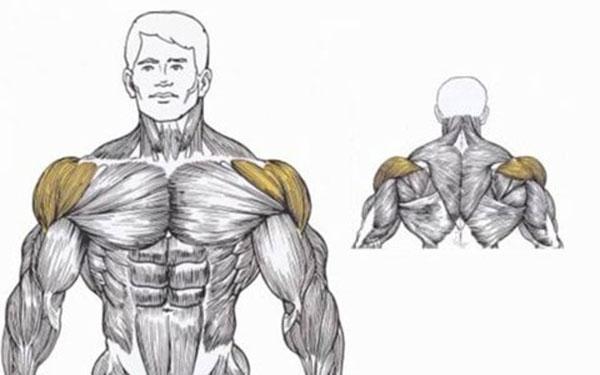 Дельтовидные мышцы.