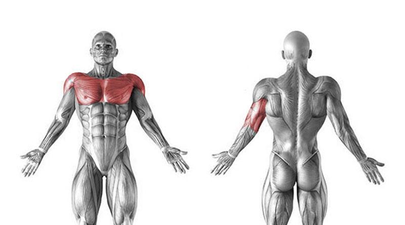 Жим лежа какие мышцы работают