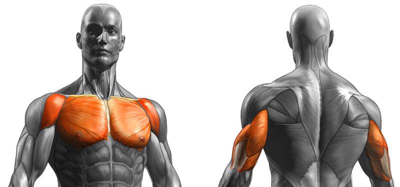 Мышцы при жиме лежа