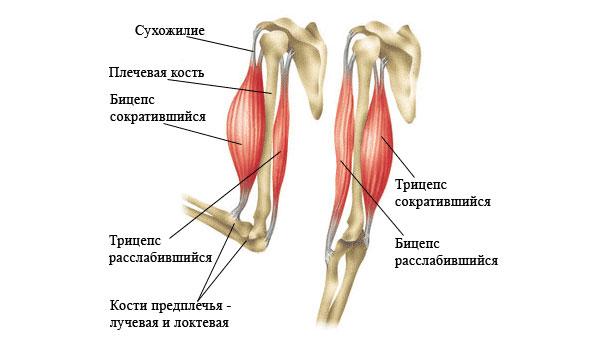 Анатомия двуглавой мышцы плеча