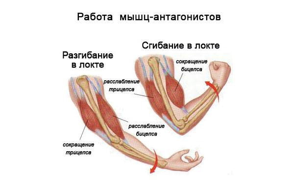 Работа мышц антагонистов