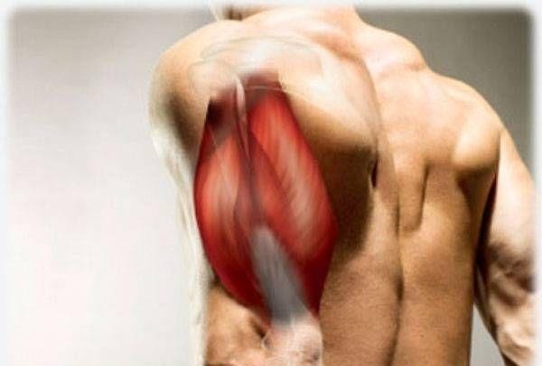 Строение трехглавой мышцы