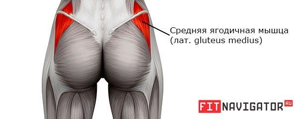 Средняя ягодичная мышца (gluteus medius)